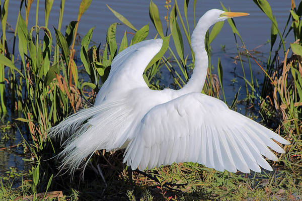Photograph - Egret Display by Karl Ford