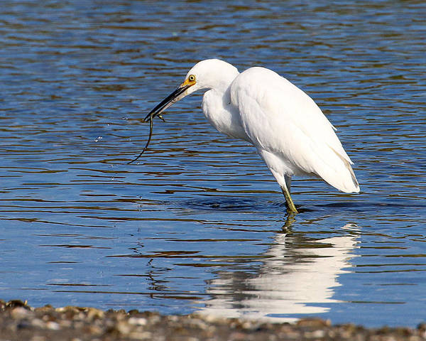 Photograph - Egret Eating Eel 1 by William Selander