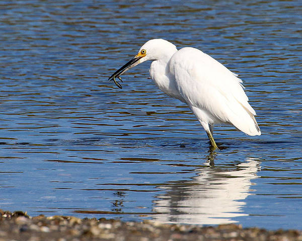 Photograph - Egret Eating Eel 2 by William Selander