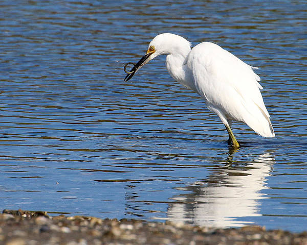 Photograph - Egret Eating Eel 3 by William Selander