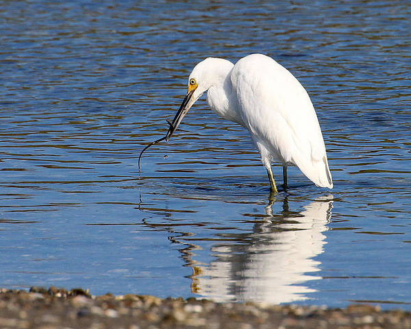 Photograph - Egret Eating Eel 4 by William Selander
