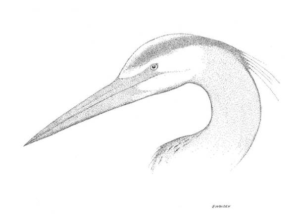 Great Blue Heron Drawing - Great Blue Heron by Ed Einboden