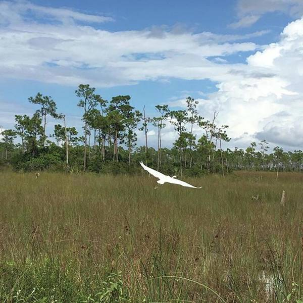 Egret Photograph - #egret #evergladesnationalpark by Patricia And Craig