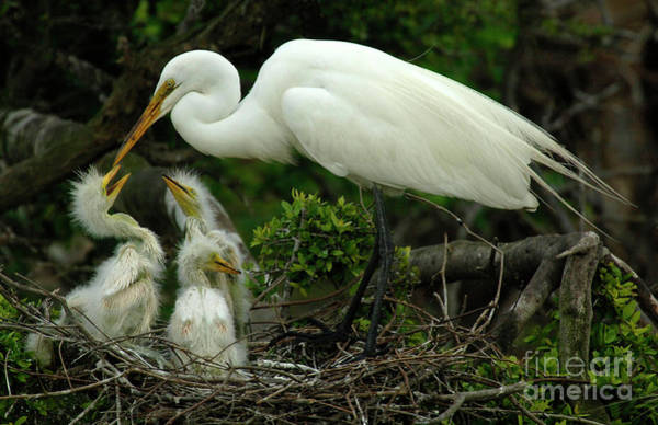 Wall Art - Photograph - Majestic Great White Egret Family by Bob Christopher