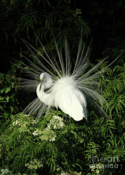 Photograph - Egret Fan Dancer by Sabrina L Ryan