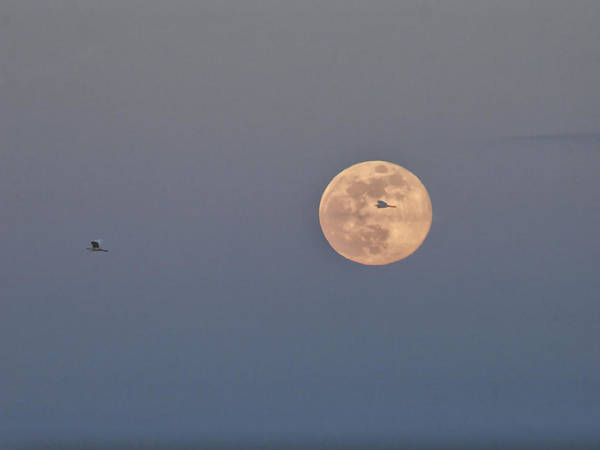 Photograph - Egret Flies Across Moon by Charles McKelroy
