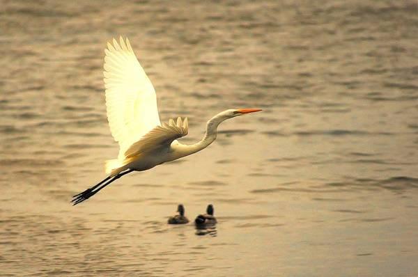 Photograph - Egret Flight by Buddy Scott