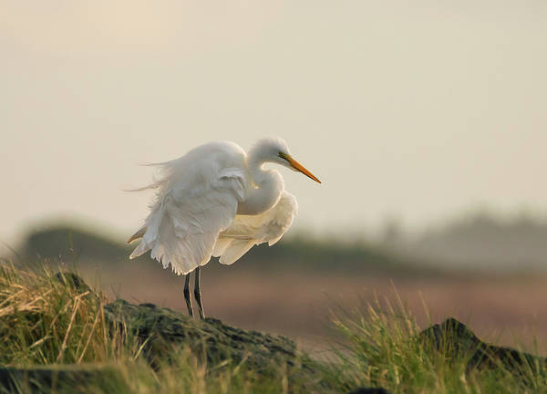 Photograph - Egret Fluffing At Sunset by Loree Johnson