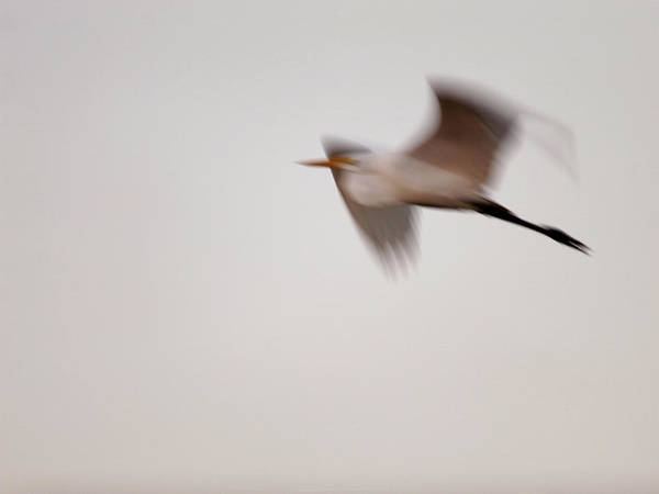 Photograph - Egret Ghost by Charles McKelroy