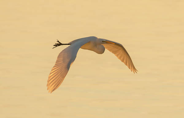 Photograph - Egret Glowing In The Sunset by Loree Johnson
