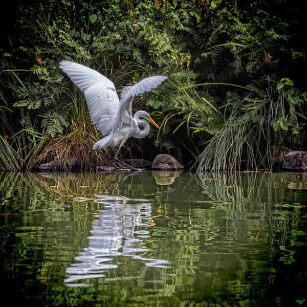 Photograph - Egret Hunting For Lunch by Chris Lord