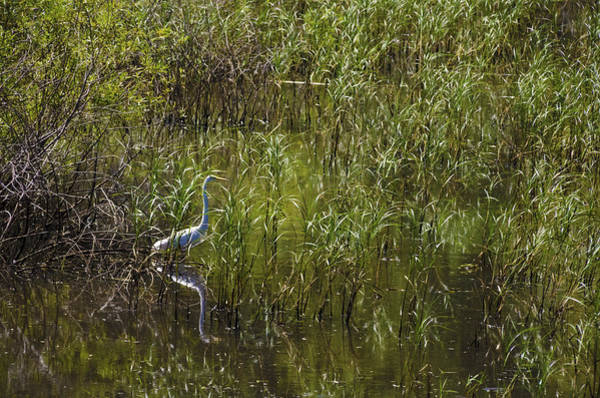 Photograph - Egret Hunting In Reeds by Lynn Hansen