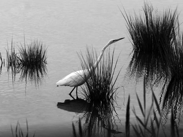 Photograph - Egret In Black And White by Paul Ross
