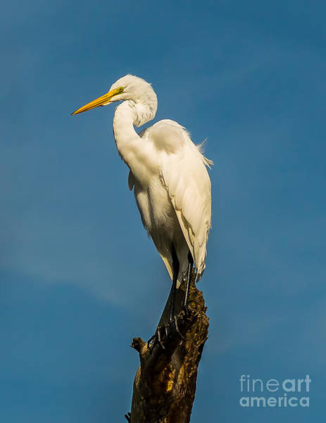 Photograph - Egret In Chincoteague by Nick Zelinsky