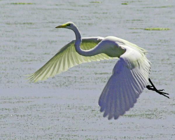 Photograph - Egret In Flight by Bill Barber