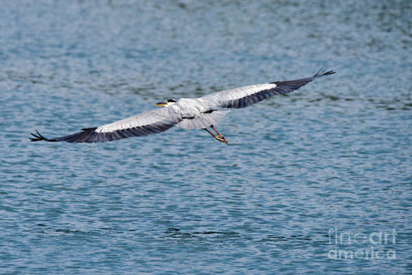 Egret Photograph - Great Blue Heron In Flight by Paul Quinn