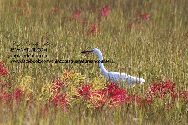 Photograph - Egret In Red 2 by Captain Debbie Ritter