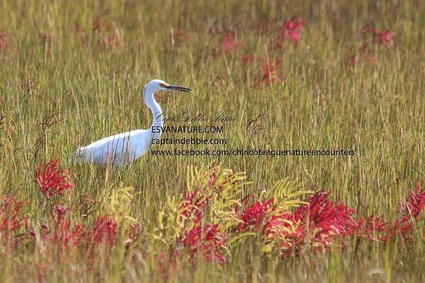 Photograph - Egret In Red 3 by Captain Debbie Ritter