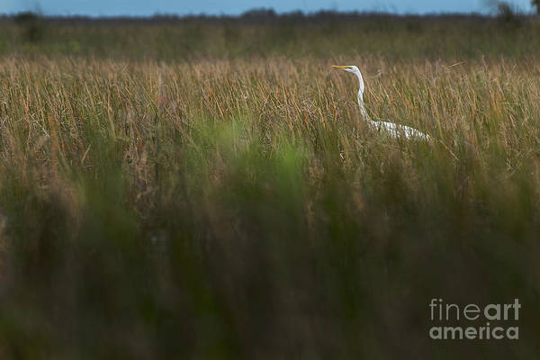 Photograph - Egret In Swamp-1-0711 by Steve Somerville