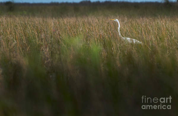 Photograph - Egret In Swamp-2-0711 by Steve Somerville