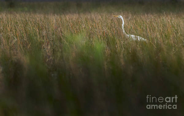 Photograph - Egret In Swamp-3-0711 by Steve Somerville