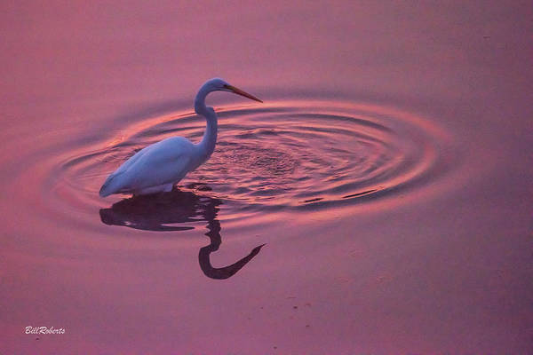 Wall Art - Photograph - Egret In The Pink I by Bill Roberts