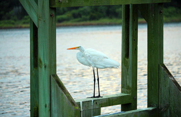 Photograph - Egret Keeping Watch by Cynthia Guinn