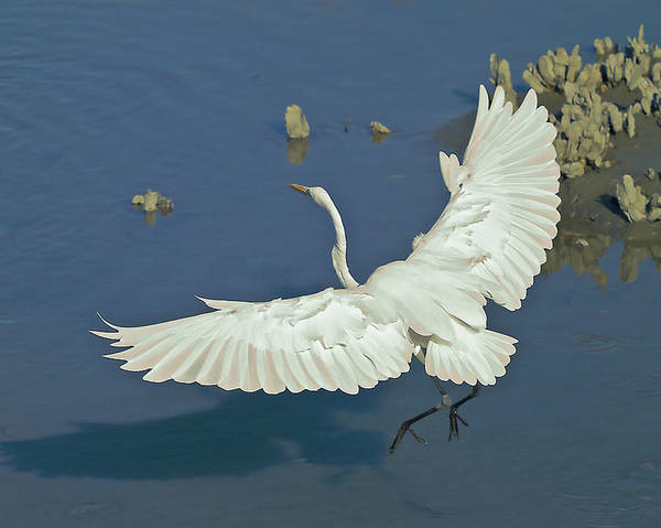 Photograph - Egret Landing by Mike Covington