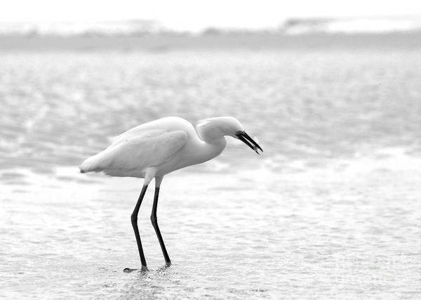 Photograph - Egret Makes A Catch In Black And White by Angela Rath