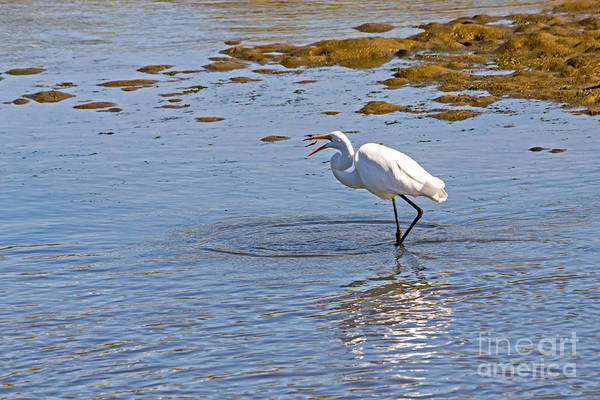Photograph - Egret Makes A Catch by Kate Brown