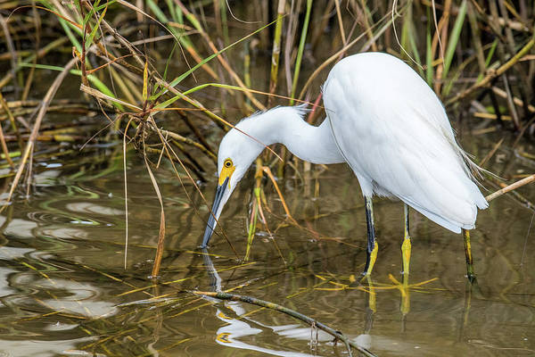 Wall Art - Photograph - Egret On The Hunt by Paul Freidlund