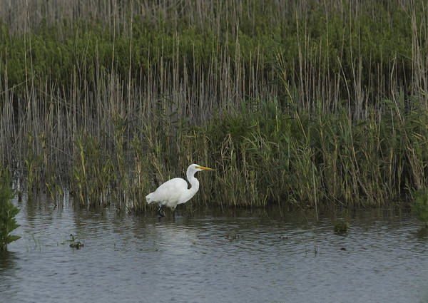 Photograph - Egret On The Hunt by Paul Ross