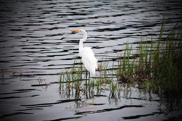 Photograph - Egret Patiently Waiting by Cynthia Guinn