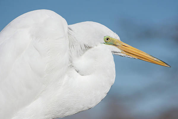 Photograph - Egret Portrait by Dawn Currie