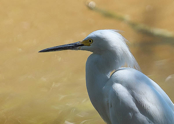 Photograph - Egret Pose by Norman Peay