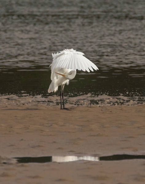 Photograph - Egret Preening By The River by Loree Johnson