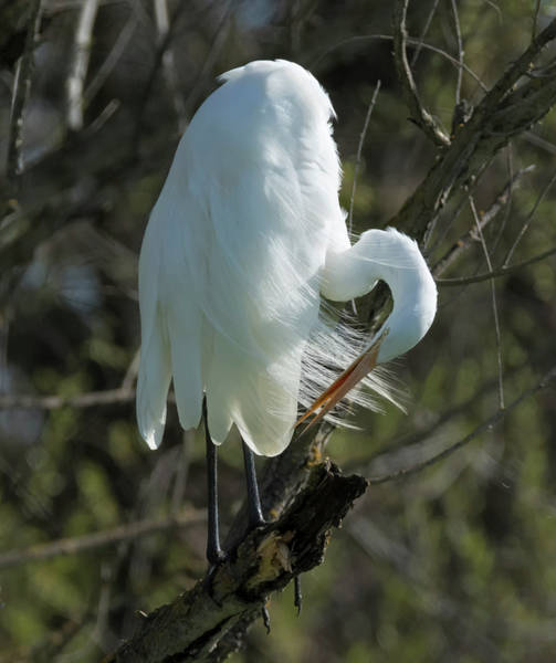 Photograph - Egret Preening by Loree Johnson