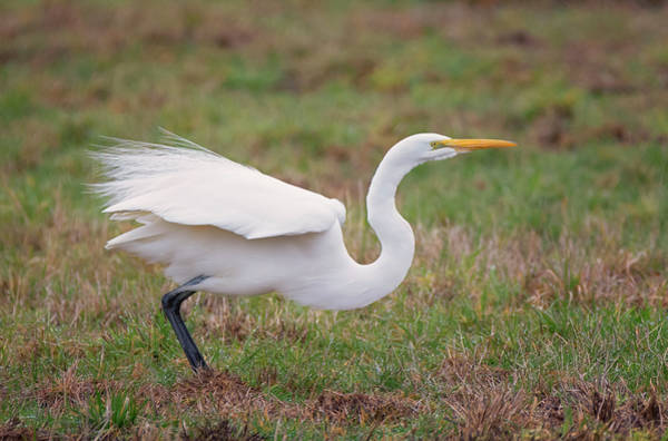 Photograph - Egret Ready To Launch by Loree Johnson