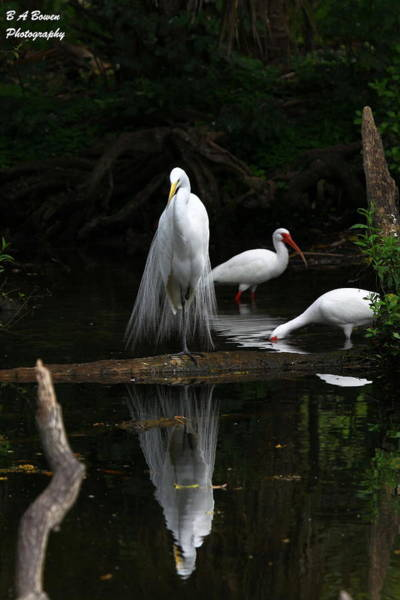 Photograph - Egret Reflection by Barbara Bowen