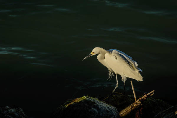Photograph - Egret by Robert Mitchell