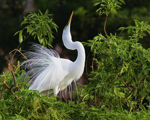 Photograph - Egret Showing Off For The Ladies by Dawn Currie
