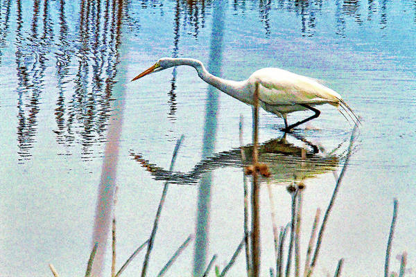 Wall Art - Photograph - Egret Stalking His Dinner by Geraldine Scull