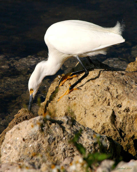 Wildbird Photograph - Egret Stalking by Joseph G Holland