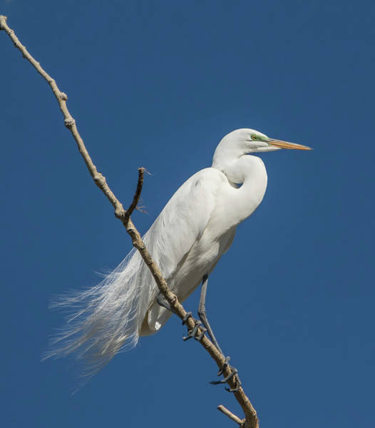 Photograph - Egret Surveillance by Loree Johnson