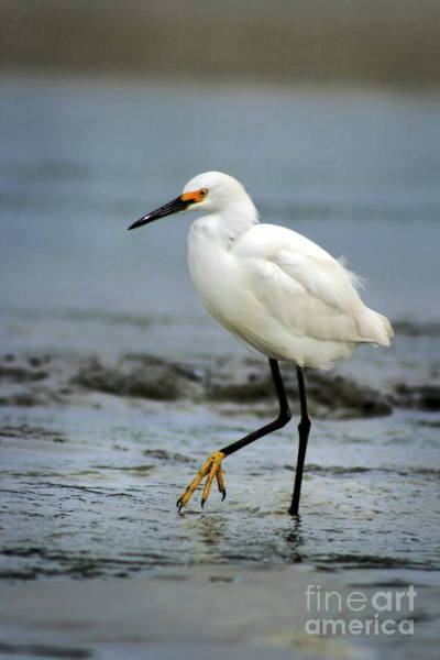 Photograph - Egret Wading by Angela Rath