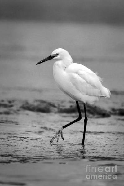 Photograph - Egret Wading In Black And White by Angela Rath