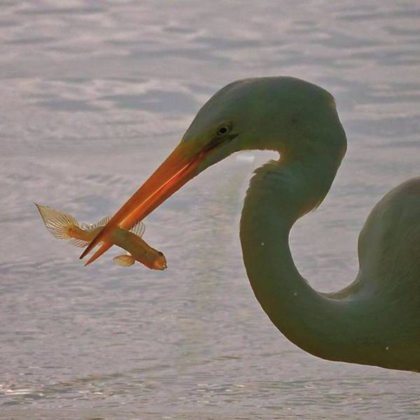 Egret Photograph - Egret With A Strange Fish In Its Beak by Marvin Reinhart