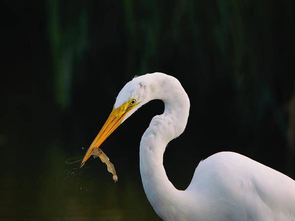 Photograph - Egret With Shrimp by Charles McKelroy