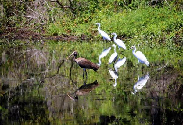 Photograph - Egrets And Ibis by Cynthia Guinn