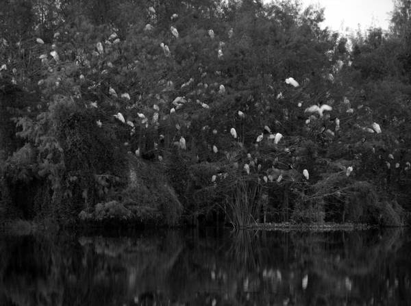Photograph - Egrets At Gator Lake by Juergen Roth